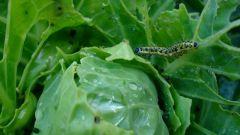 Как уберечь капусту от гусениц