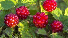 Как вырастить на садовом участке княженику
