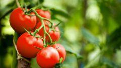 Как ухаживать за томатами летом