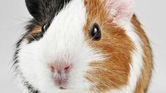 Морские свинки: как ухаживать за питомцем
