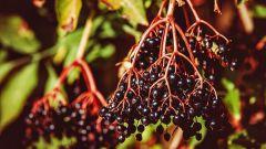 Бузина: легенды и магические свойства растения