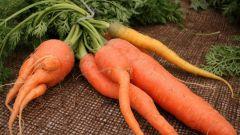 Почему морковь так популярна
