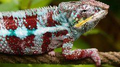 Удивительные факты о хамелеонах