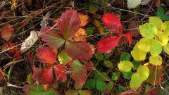 Чем подкормить клубнику осенью после обрезки