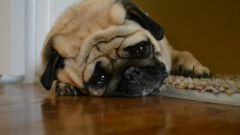 Могут ли собаки плакать?