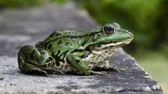 Необычные факты о лягушках
