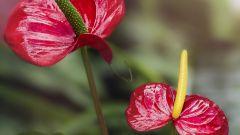 Антуриум: виды и особенности ухода