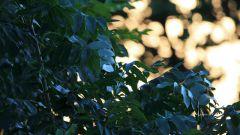 Гороскоп друидов: ясень