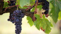 Гороскоп друидов: виноград