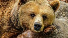 Славянский гороскоп животных: медведь