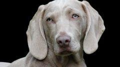 Славянский гороскоп животных: собака