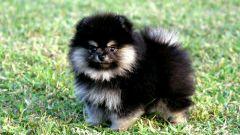 Стоит ли заводить собаку – померанского шпица
