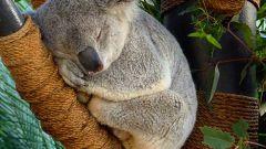 Как живут коалы