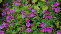 Герань садовая многолетняя: сорта, посадка и уход