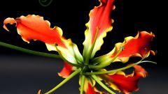 Глориоза: выращивание и уход в домашних условиях