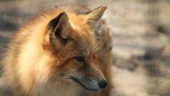 Кельтский гороскоп животных: Лиса