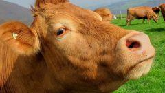 Кельтский гороскоп животных: Корова