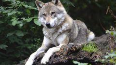Кельтский гороскоп животных: Волк