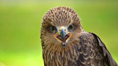 Кельтский гороскоп животных: Сокол