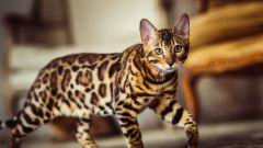 Самые своенравные породы кошек