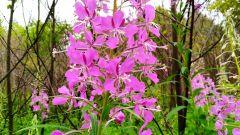 Полезные свойства широко распространённого растения - иван-чая узколистного