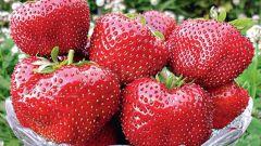 Клубника «Гигантелла»: особенности сорта, урожайность, выращивание