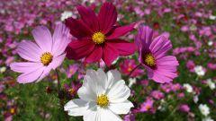 Космея — цветок из космоса