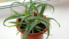 Корневая гниль у алоэ: как спасти растение?