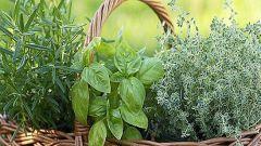 Пряные травы: применение и особенности выращивания