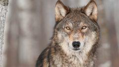 8 интересных фактов о волках