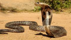 Очковая змея: место обитания, размеры и особенности