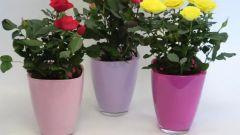 Горшечные розы: выращивание в комнатных условиях