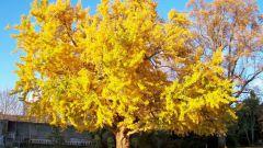 Какое дерево самое древнейшее на Земле