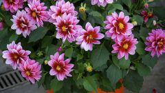 Георгины: низкорослые сорта для выращивания в цветочных горшках