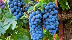 Какой виноград посадить на Урале, Дальнем Востоке и в Сибири