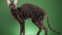 Кошки породы корниш-рекс: внешний вид, характер, особенности содержания