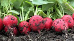 Как собрать богатый урожай редиса