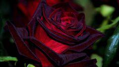 Роза «Черная магия»:  описание и тонкости выращивания