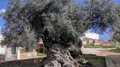 Почему оливковое дерево стало символом долголетия и верности