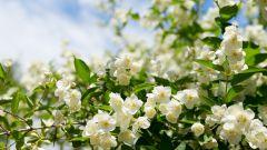 Гидролат жасмина: свойства и применение