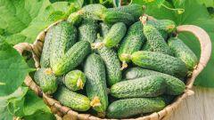 Как выбрать семена огурцов: три совета огороднику