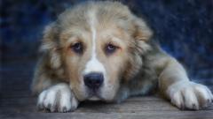 Особенности собак породы среднеазиатская овчарка или алабай
