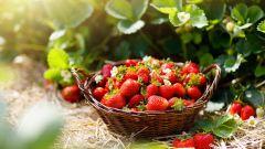 Как размножить садовую землянику усами: 4 простых способа