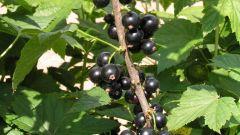 Как ухаживать за черной смородиной после сбора урожая: простые советы