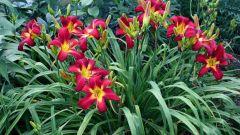 Как размножить лилейник делением: 4 простых совета