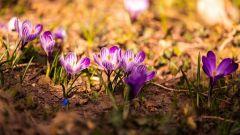 Как посадить крокусы осенью: простые советы