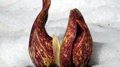 Тайны планеты: теплокровное растение
