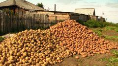 Как правильно сажать и выращивать картофель