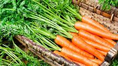 11 урожайных сортов моркови для закрытого грунта