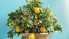 Как вырастить лимонное дерево из семян и получить плоды уже через 2 года: практические советы
